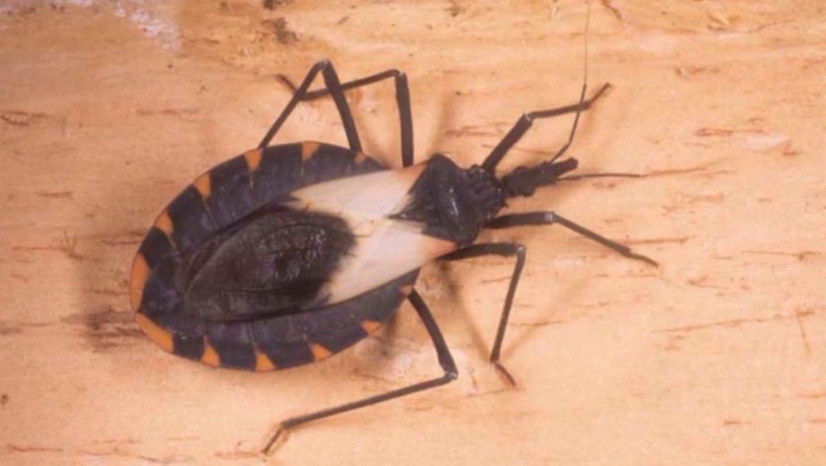 Ostrzeżenie przed kissing bug, roznoszącym niebezpieczne choroby