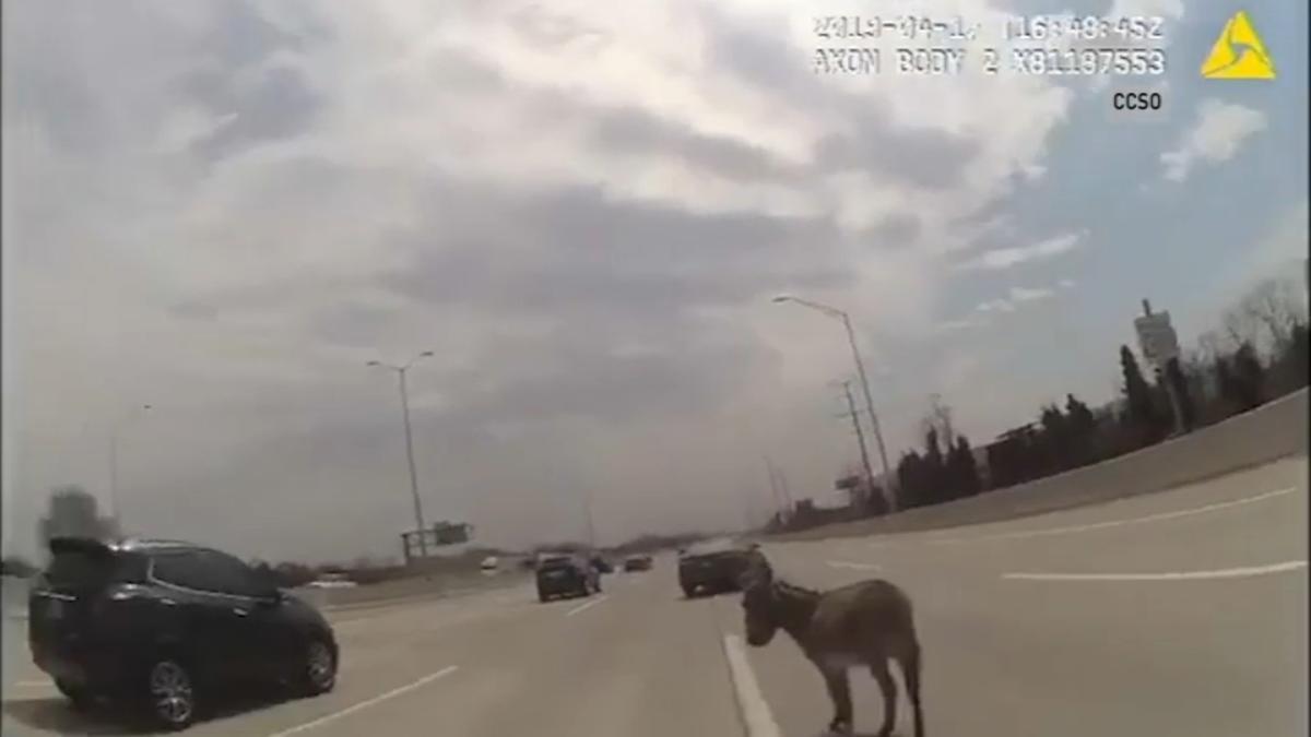 Osioł na autostradzie I-90 (VIDEO)