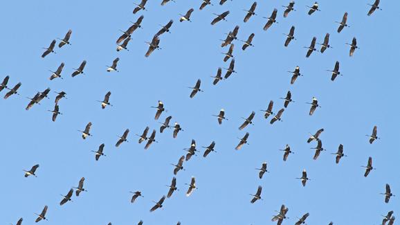 Chicago wśród niebezpiecznych miast dla migrujących ptaków