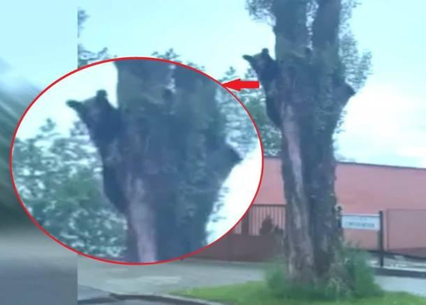 Słowacja: Niedźwiedź biegał po centrum  Ružomberoka