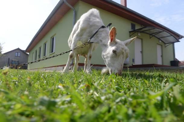 Kozy zamiast kosiarek? Radny Warszawy proponuje, aby zwierzęta strzygły stołeczne trawniki