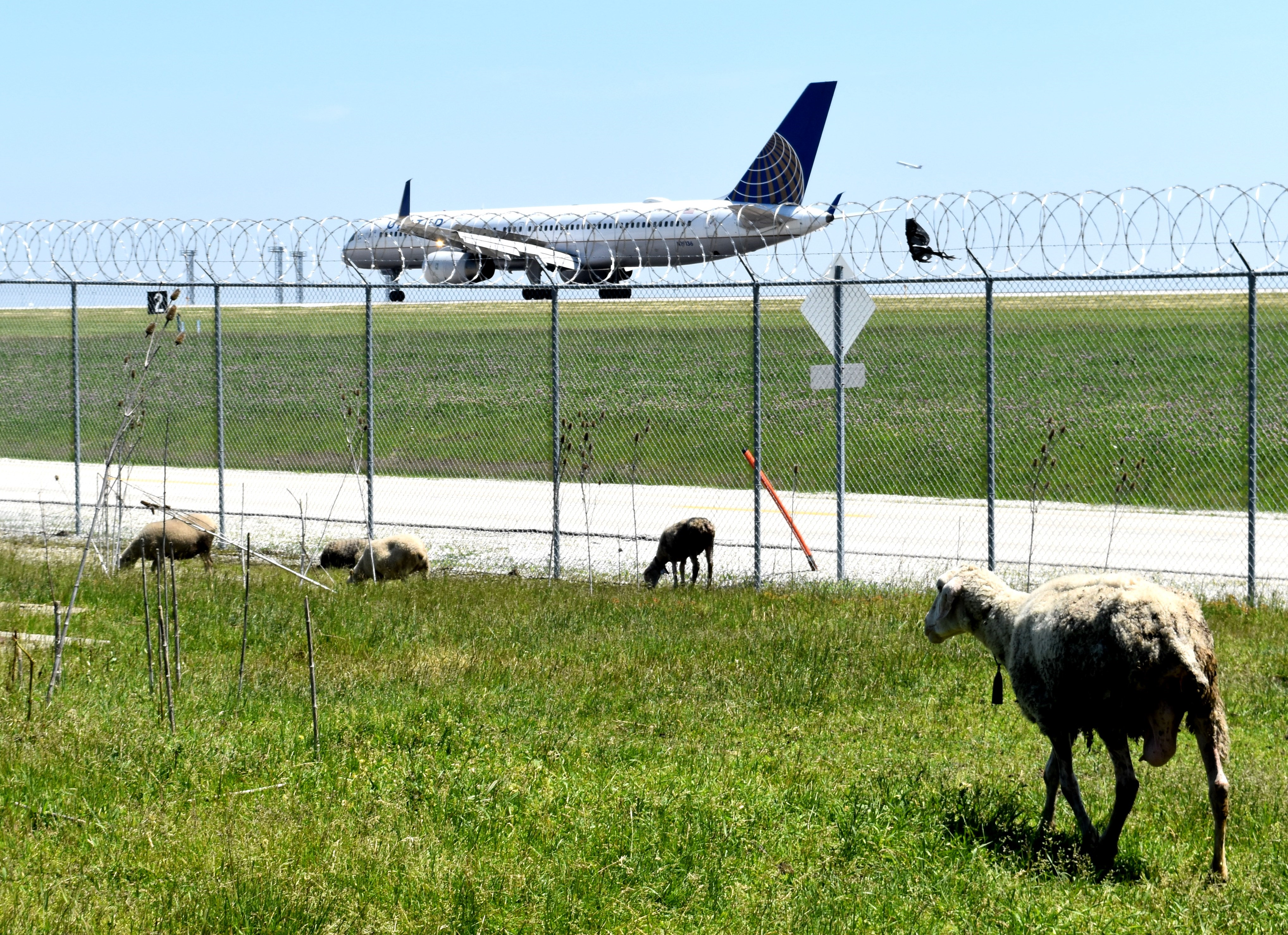 Stado kóz, owiec i osioł na lotnisku O'Hare