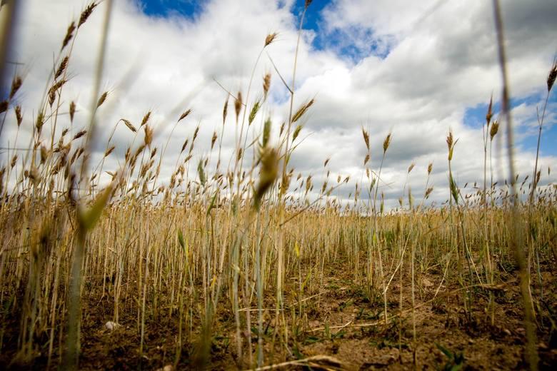 Niemal w całym kraju panuje susza rolnicza. Co na to minister rolnictwa?