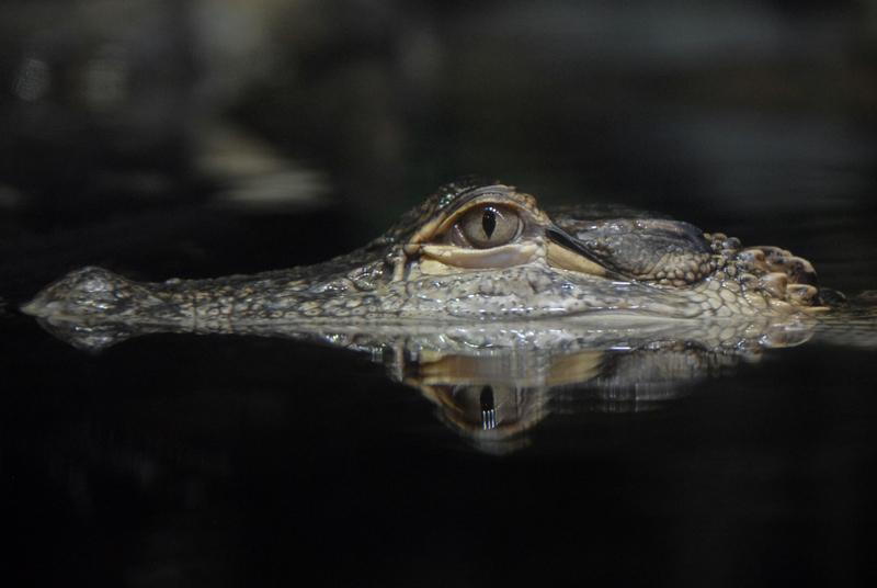 Duże zainteresowanie aligatorem w Humboldt Park