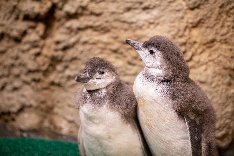 Chicagowskie oceanarium wybiera imiona dla małych pingwinów