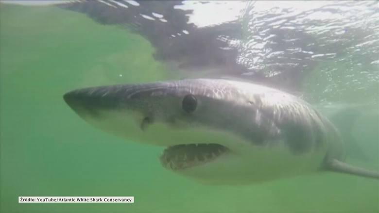 Jedziesz do Chorwacji? Uważaj na rekina ludojada z Adriatyku