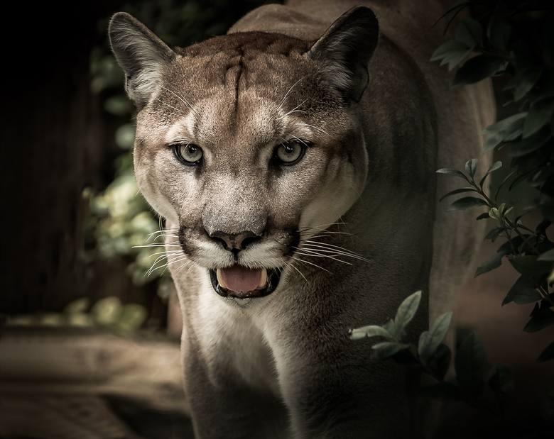 Puma grasuje w Chełmie Śląskim. Policja i myśliwi potwierdzają odnalezione ślady