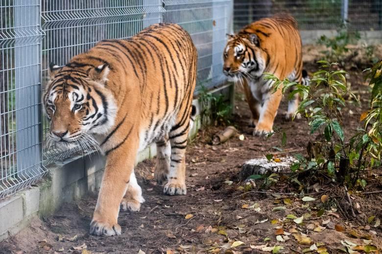 32-latek usłyszał zarzut znęcania się nad 10-cioma tygrysami