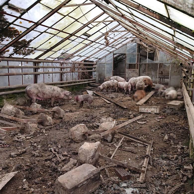 Małopolska: Świnie trzymane w katastrofalnych warunkach. 51-latek usłyszał zarzuty